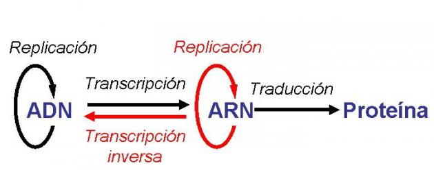 Dogma Central De La Biologia Molecular Biologia Reeditor Com