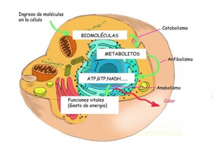 Gel para el calculadora metabolismo basal harris benedict